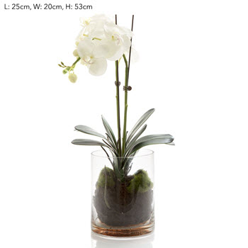 Forabelle Orchid Phal in Glass Vase in Water White